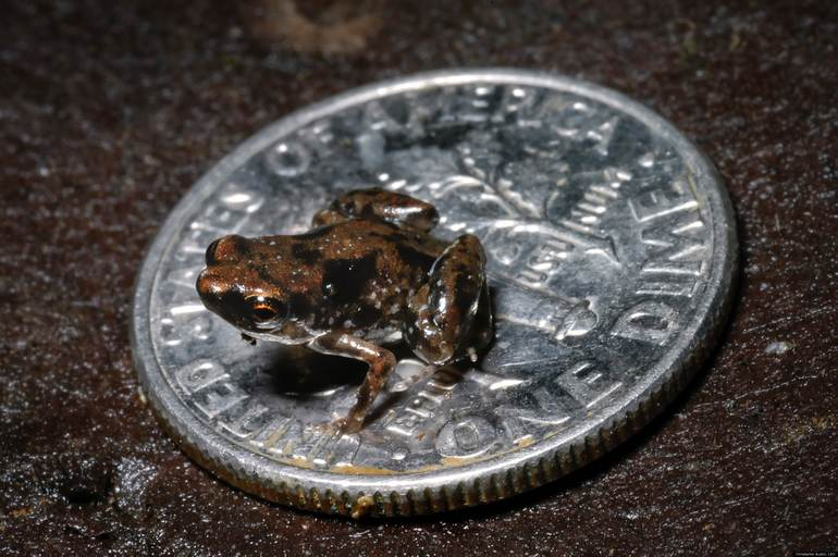 Worlds smallest known vertebrate: Paedophryne amauensis